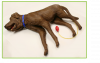 CPR Canine Training Manikin