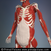Anatomy Trains 2nd Edition