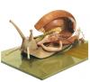 Vineyard snail model
